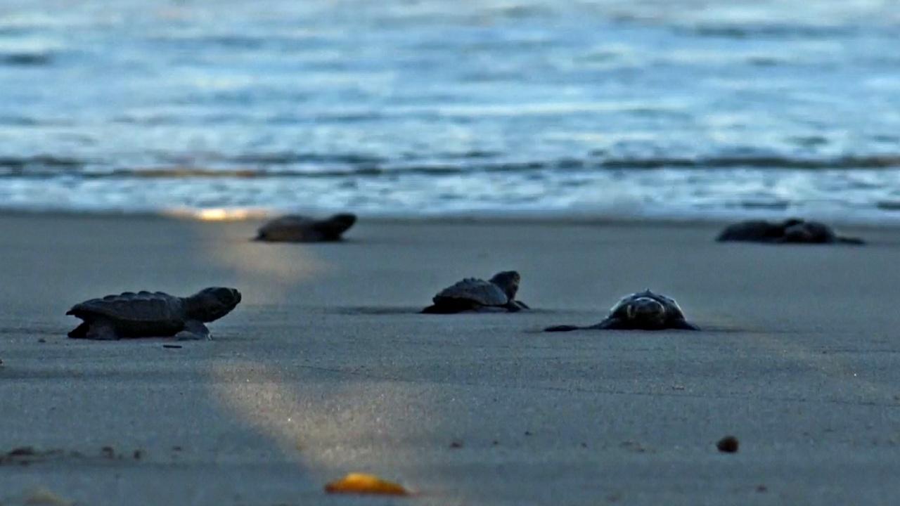 2300 оливковых черепашек выпустили в океан в Мексике
