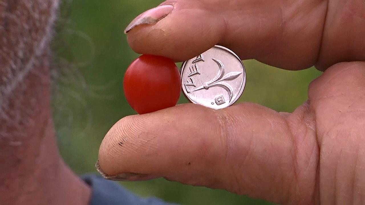 В Израиле вывели помидор черри размером с ягоду