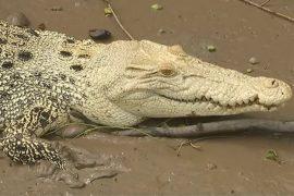 Редкого белого крокодила заметили в Австралии