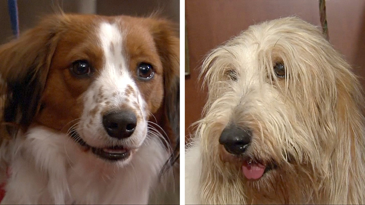 Американский клуб собаководства внёс в реестр две новые породы собак