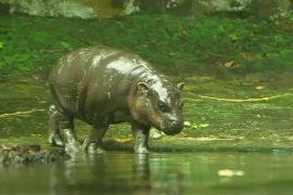 В зоопарке Сингапура пополнение: бегемот, орангутан и ящерицы