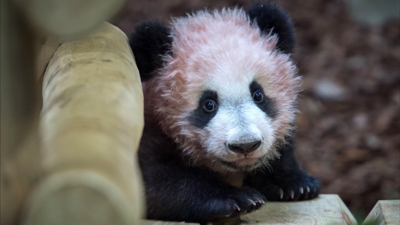 В зоопарке Франции показали первую родившуюся в стране панду