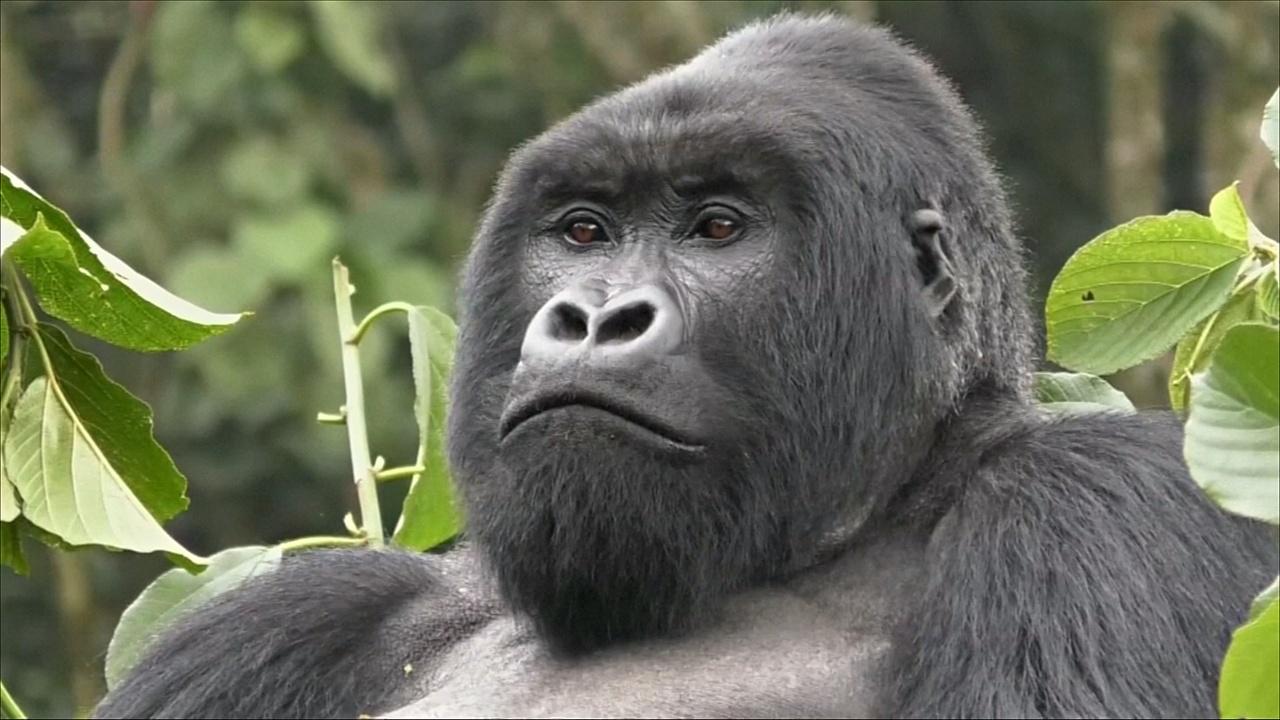 В Руанде стало больше горных горилл