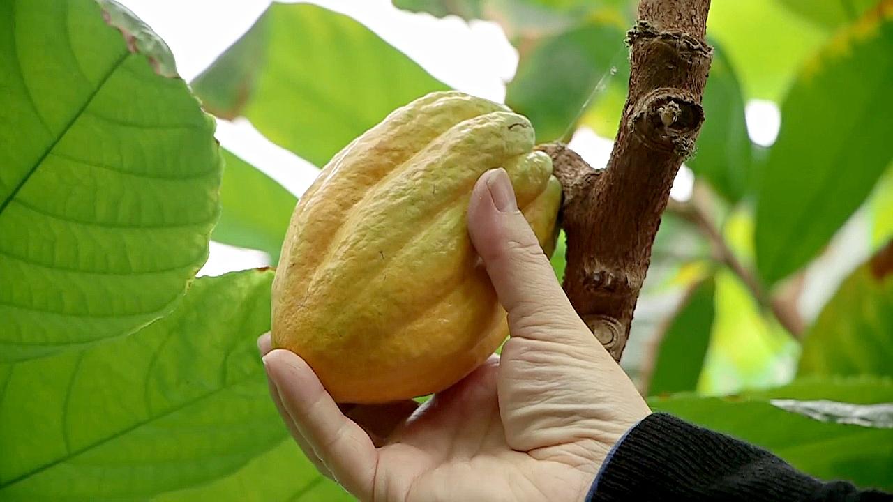 Карантинный центр какао обеспечивает бесперебойные поставки шоколада