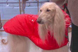 Милан становится законодателем мод и для собак