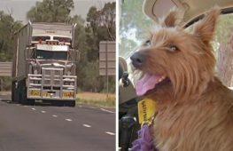 Терьер-путешественник пробрался в фуру и оказался за 1500 км от дома