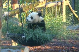 Панда Тянь Бао начинает взрослую жизнь в бельгийском зоопарке