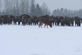 В Польше корова-беглянка прибилась к стаду зубров