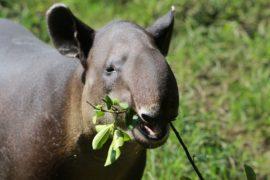 Тапиров возвращают в леса штата Рио-де-Жанейро