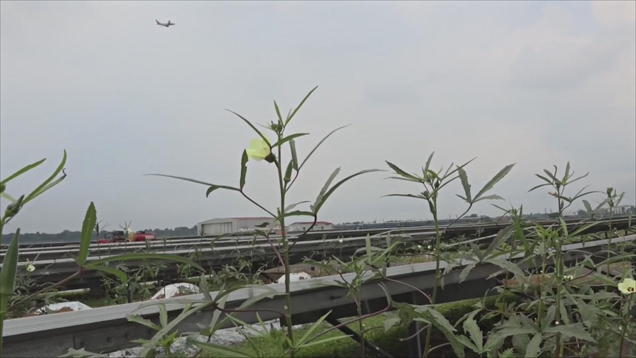 Ферма среди солнечных панелей: в аэропорту Индии выращивают овощи