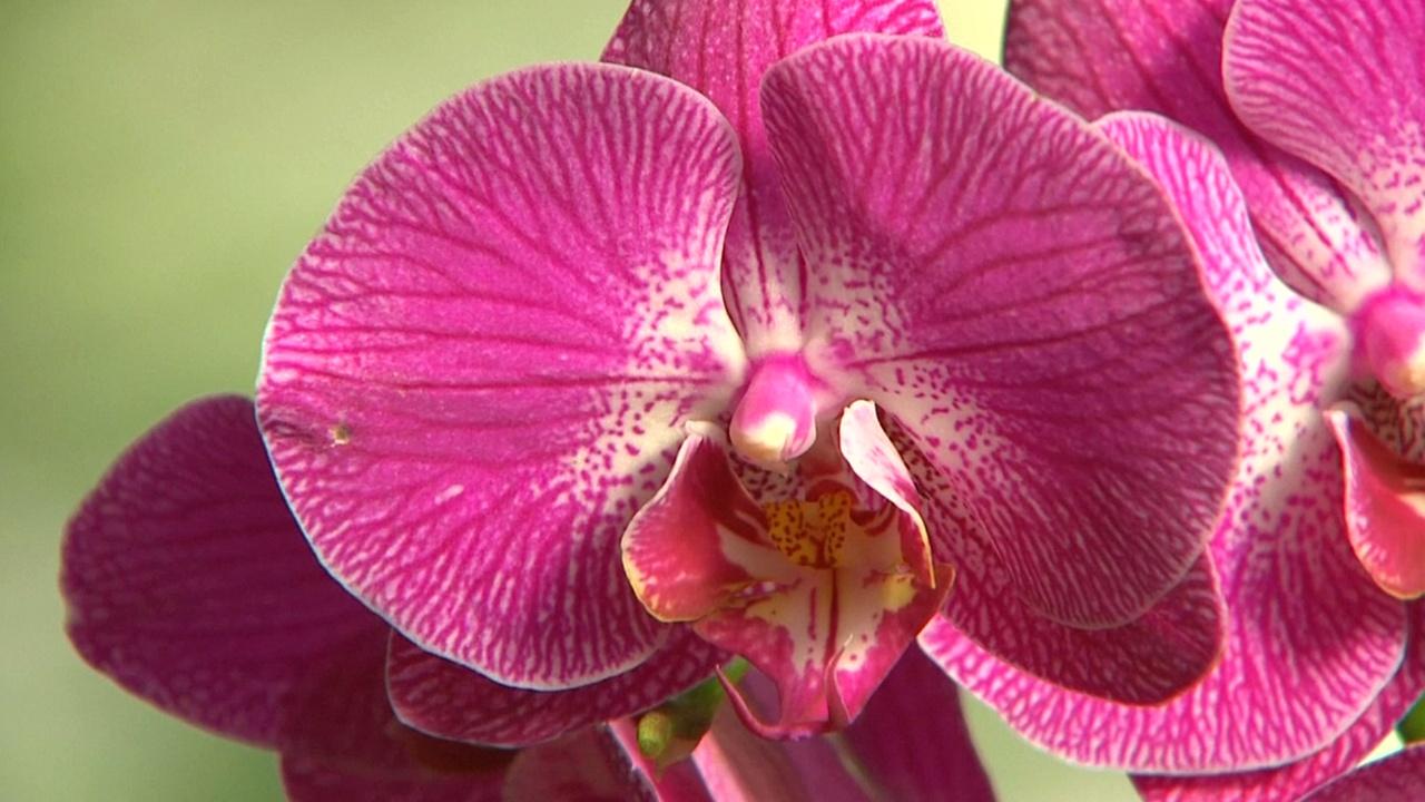 Почти 7000 орхидей и тайская тематика — на выставке в Лондоне