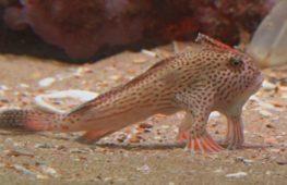 «Ходячие» рыбки: новую популяцию обнаружили у берегов Тасмании