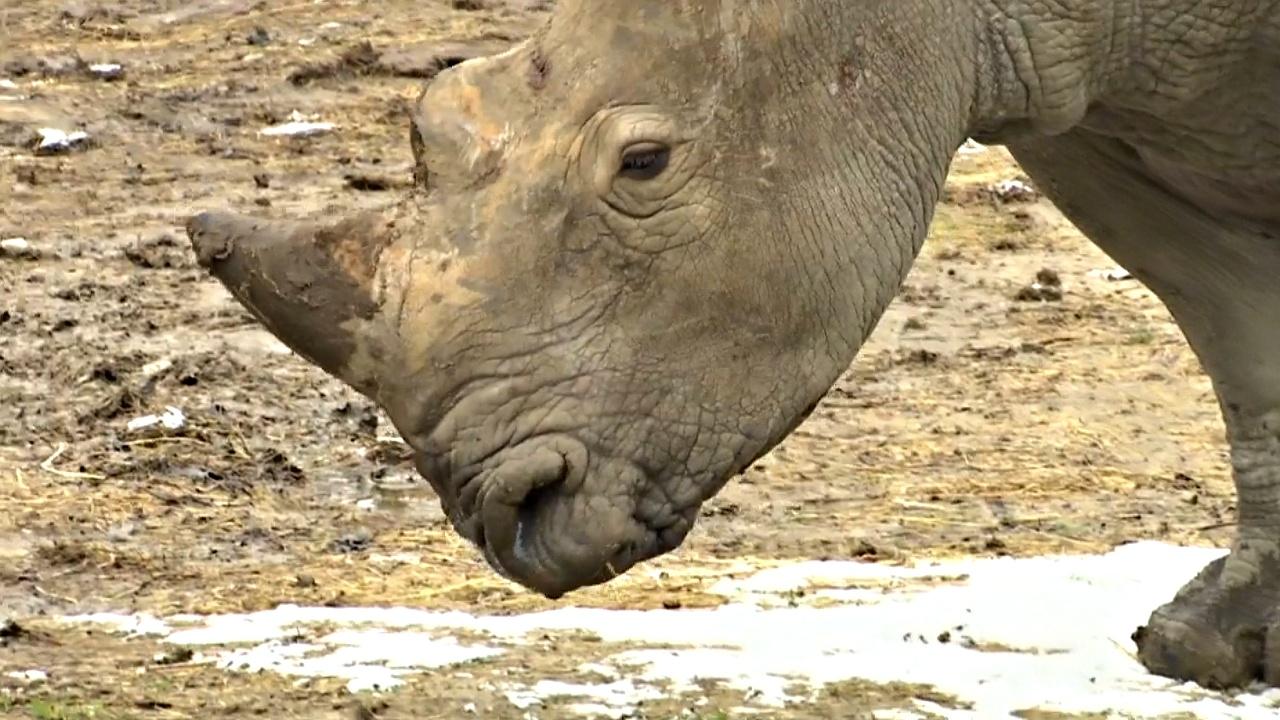 Во французском сафари-парке поселился носорог по кличке Юнеско