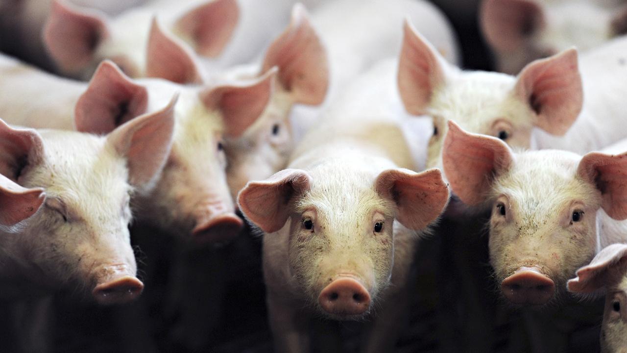 Зачем в Китае закрывают семейные свинофермы?