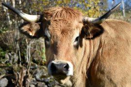 За что корова из Кюрьера прославится на всю Францию