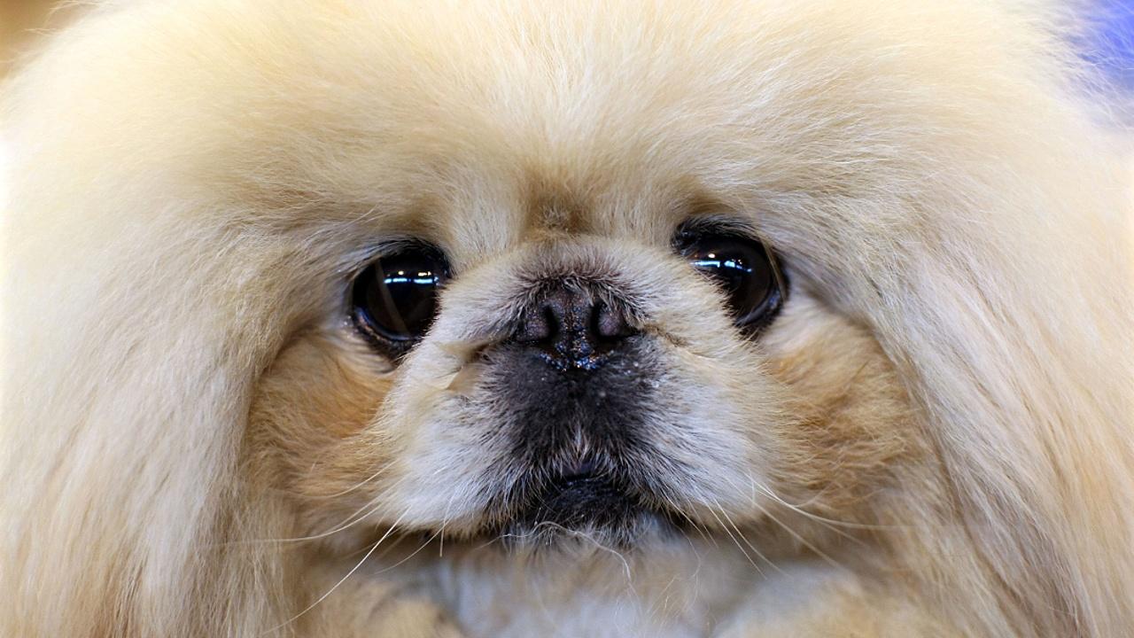 Почему китайцы разлюбили пекинесов – священных собак императора?