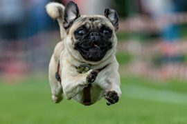 Ветеринары призывают не покупать французских бульдогов и мопсов