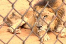 В зоопарках Венесуэлы истощённых зверей пускают на корм