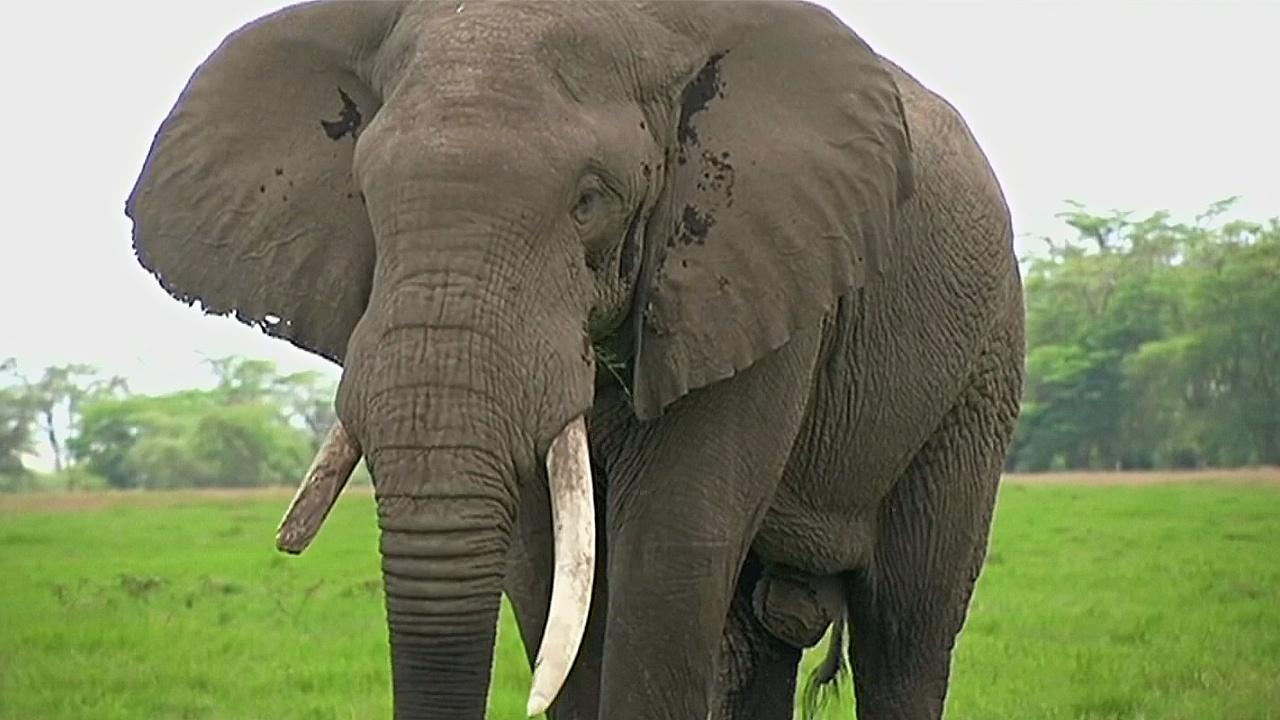 Кенийские фермеры не ужились со слонами: животных увозят в заповедник