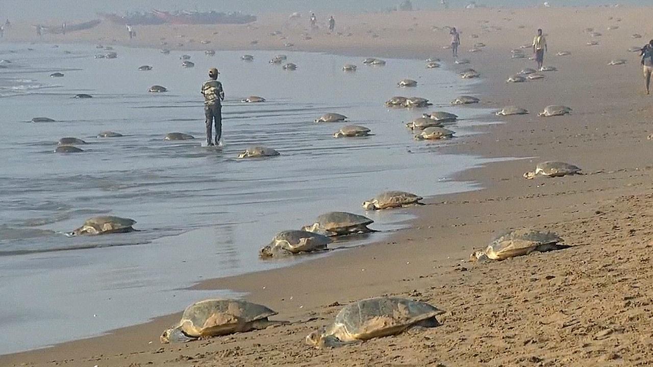 400 тысяч оливковых черепах сделали кладки на индийском пляже