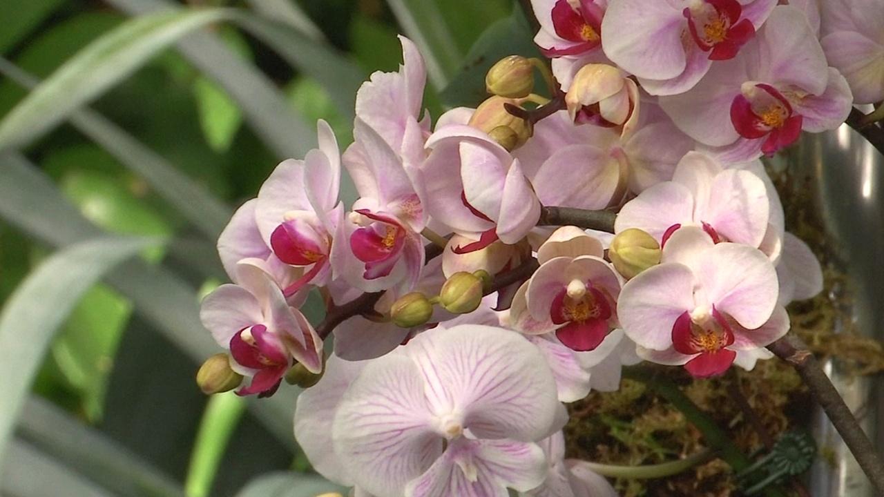 Обворожительные орхидеи расцвели в Ботаническом саду Нью-Йорка