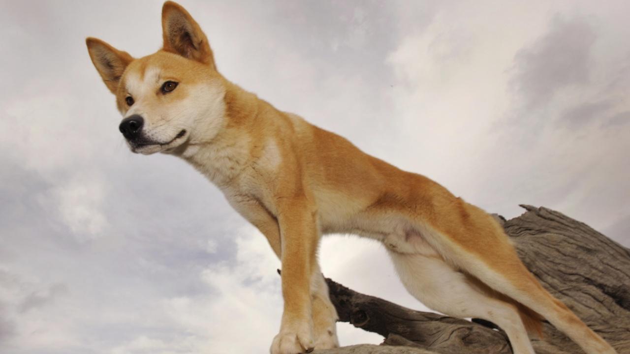 Собак динго хотят пустить к людям