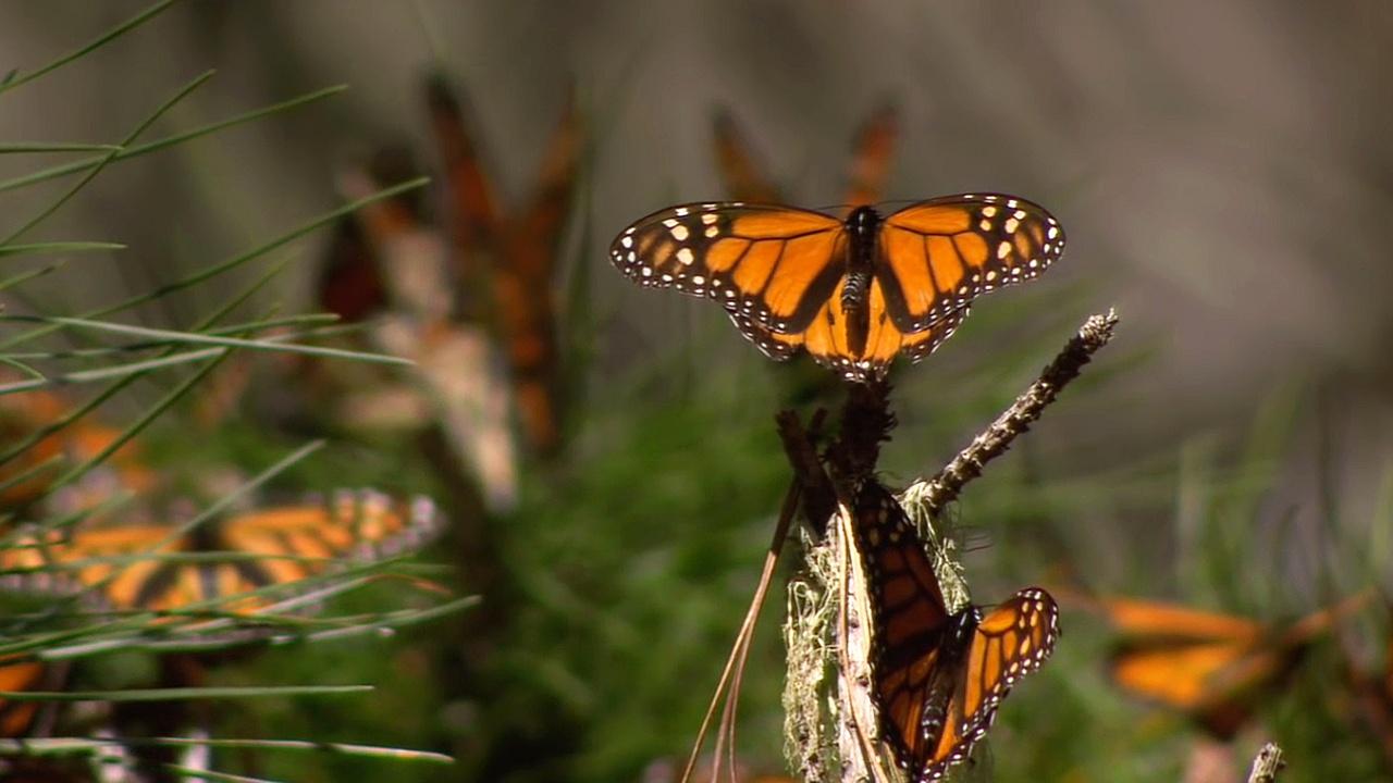 Бабочек монарх стало меньше из-за ураганов в Мексике и жары в США