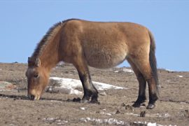 Лошадей Пржевальского становится больше в степях Монголии