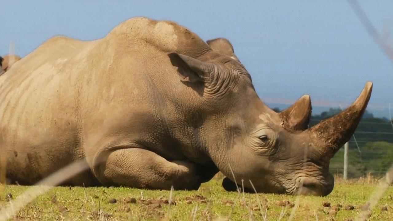 Последний самец северного белого носорога Судан умер в Кении