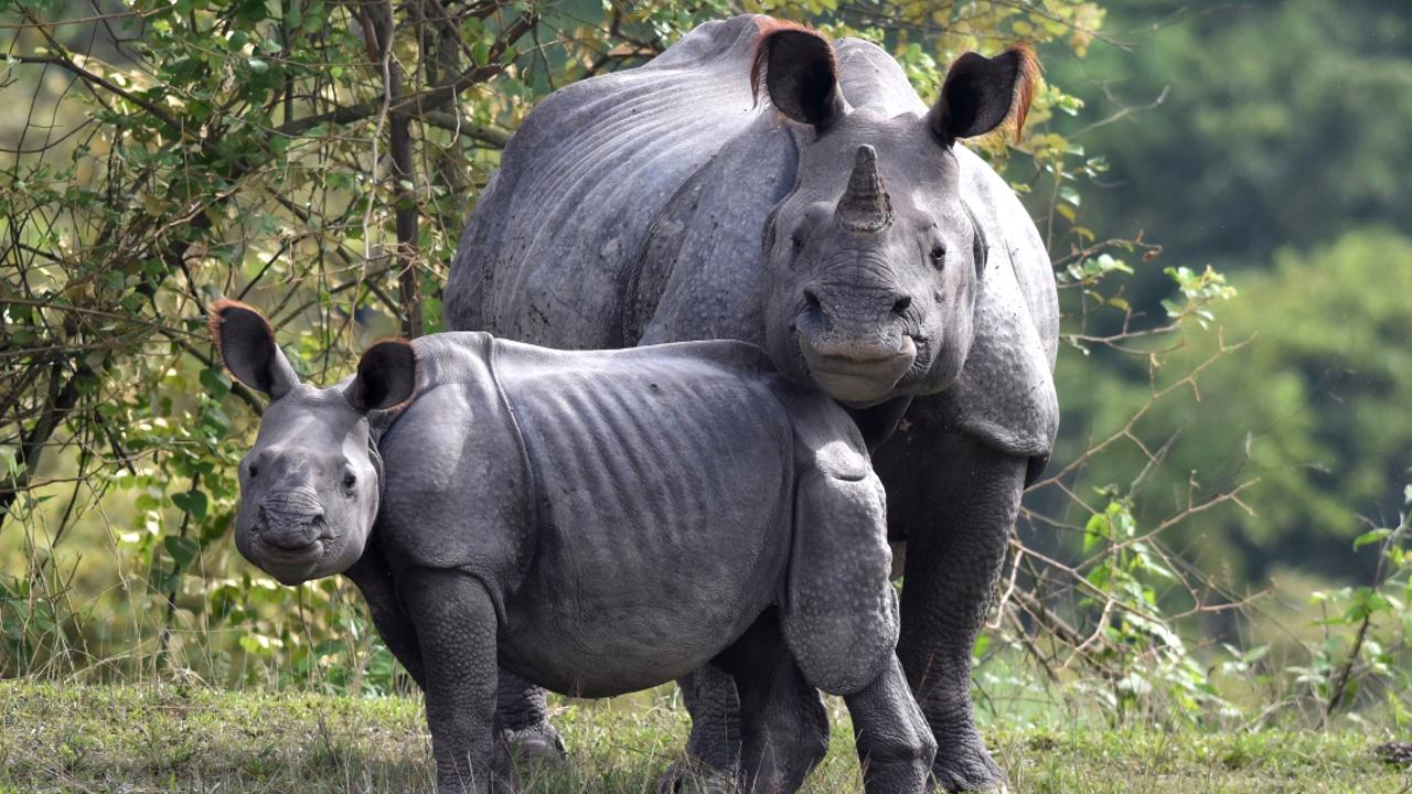 В маленьком заповеднике в Индии — носорожий «бум»