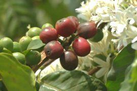 Кенийских фермеров поддерживают в выращивании кофе