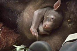 Впервые за 40 лет в немецком зоопарке родился вомбат