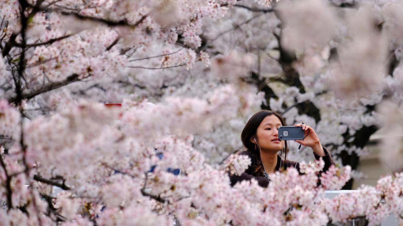 Японцы спешат занять место под цветущей сакурой