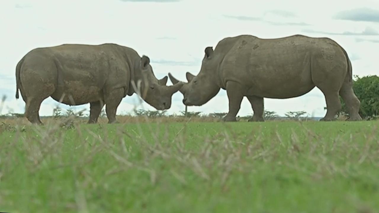В кенийском заповеднике начали помечать носорогов