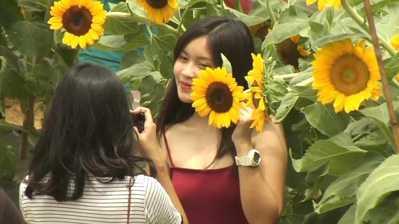 Лабиринты из цветущих подсолнухов привлекают туристов на Филиппинах