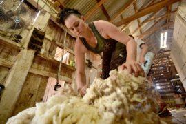 Австралии нужны эксперты по стрижке овец