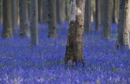 «Синий лес» снова манит волшебными коврами из колокольчиков