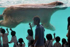 В Сингапуре умер первый белый медведь, родившийся в тропиках