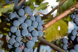 Чья вина, что мало вина: эксперты обвиняют погоду