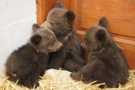 В Болгарии выхаживают диких медвежат, оставшихся без мамы
