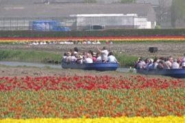 Тысячи туристов спешат в парк Кёкенхоф посмотреть на поля тюльпанов