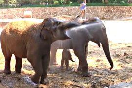 Всё больше азиатских слонов убивают ради кожи