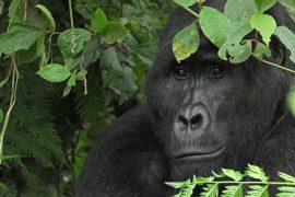 В Уганде проводят перепись горных горилл
