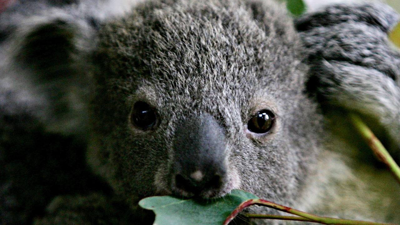 В Новом Южном Уэльсе будут спасать коал от вымирания