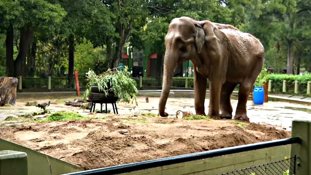 После 52 лет жизни в неволе слониху перевезут в заповедник
