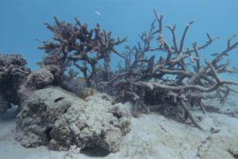 У берегов Самоа массово погибли кораллы