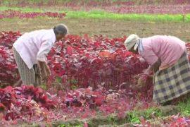 Индийские фермеры переключаются с риса на шпинат