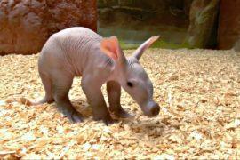 Малыш-трубкозуб со свиным пятачком дебютировал в зоопарке Праги