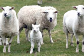 Австралия изменяет правила экспорта живого скота