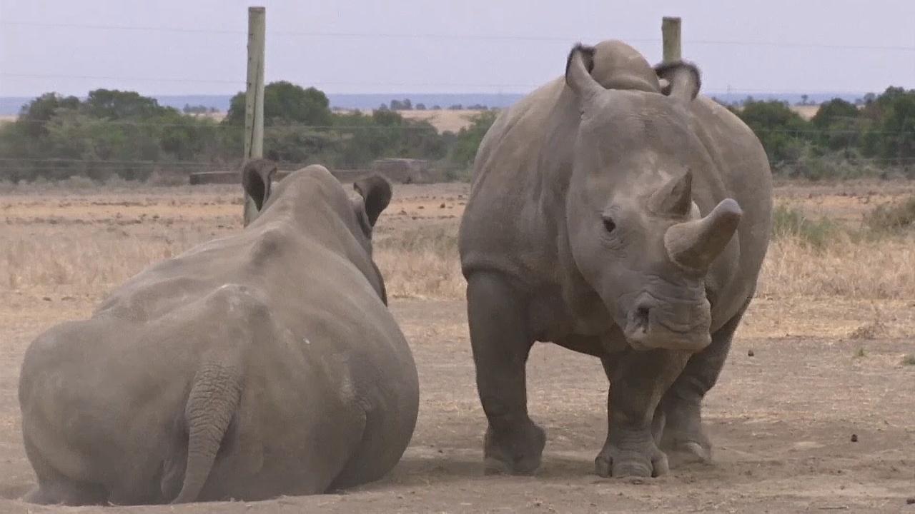 Учёные сделали ещё один шаг к спасению северного белого носорога